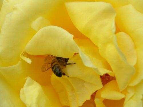 蜂�in�柔らかそ~な黄色